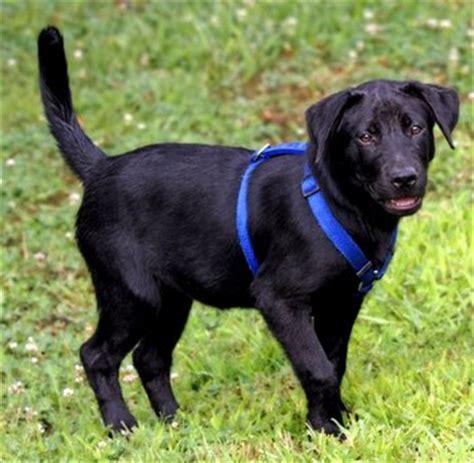 Hundegeschirr Labrador Welpen