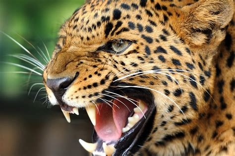 Animal Wallpaper For Android - free cool animal wallpaper for android 171 wallpapers
