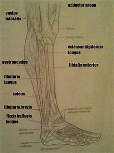 Print Exercise 14  Gross Anatomy Of The Muscular System