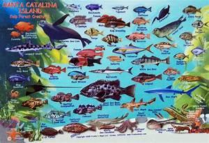 Santa Catalina Island Kelp Forest Creatures Identification