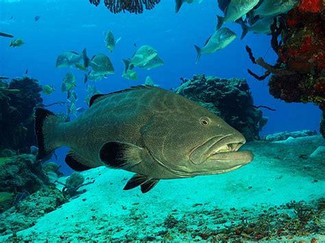 grouper cozumel season underwater jim bonaci mycteroperca