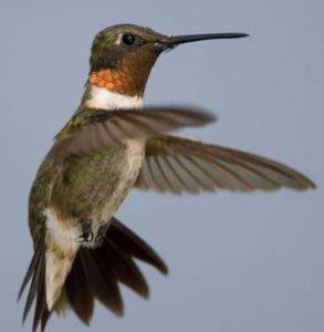hummingbirds great missouri birding trail
