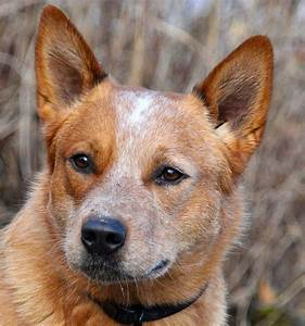 red heelers | Red Heeler Australian Cattle Dog ...