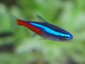 Neon Tetra Fish Facts Care Disease Breeding Tank Mates