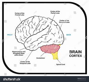 Human Brain Diagram Including Cortex Frontal Stock Photo