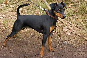 Πίντσερ - miniature pinscher - Πληροφορίες για τη ράτσα σκύλου