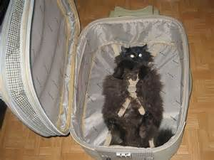 how to travel with a cat travel cat animal pictures