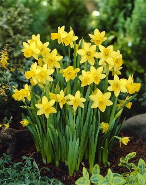 potted tete a tete potted daffodils potted bulbs