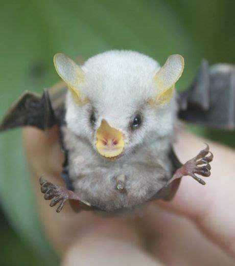 foto filhotes raros e bonitinhos morcego branco fofo n 227 o