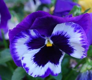 Pansy Flower Pictures & Meanings - Purple Pansy Flowers