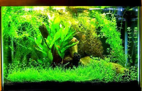 tanaman air manfaatnya bagi akuarium hias akuarium