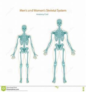 Anatomy Guide  Male And Female Skeleton  Front View  Stock