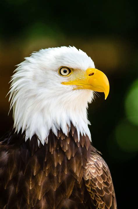 bald eagle kicks  breeding season  greater