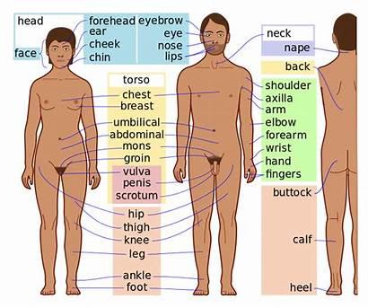 Human Svg Skin Features Dark Commons Wikimedia