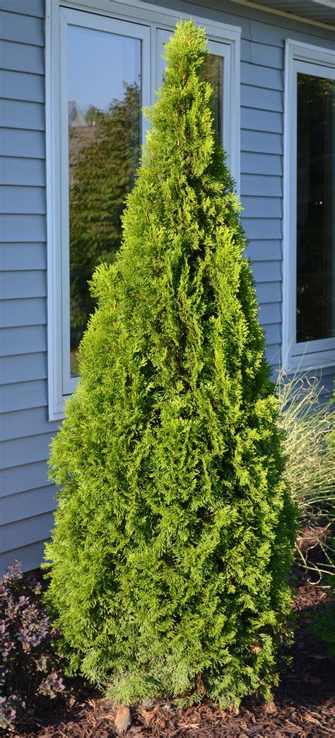 decorating wonderful emerald green arborvitae  garden