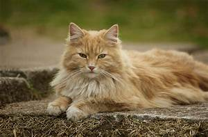 Норвезький лісовий кіт - опис, характер, фото, відео, ціна ...