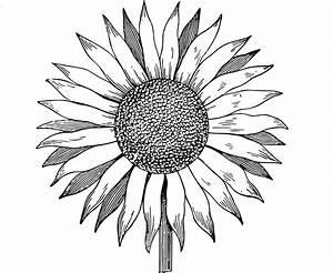 Free Clip Art Sunflower Vector Image | Clip Art Department