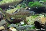 Oncorhynchus formosanus (Jordan & Oshima, 1919) 臺灣鉤吻鮭   台灣生物多樣性資訊入口網