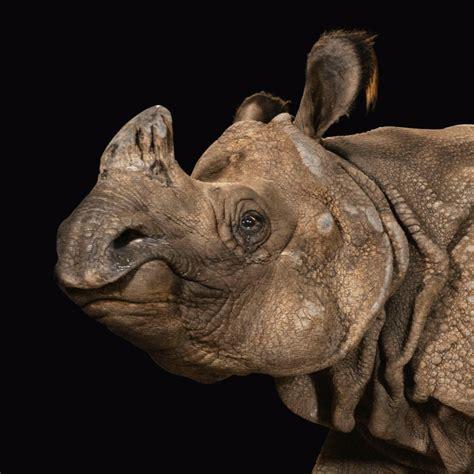 rhinoceros indian animals national geographic mammals dam nationalgeographic