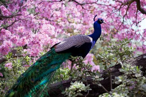 colorful peacock peacock bird colorful 6 wallpaper 4391x2927 363806