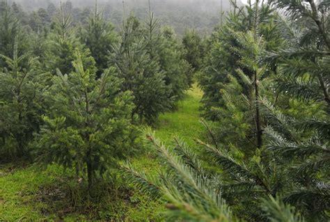 precio de los arboles cortados de navidad visita el bosque de 225 rboles de navidad en amecameca