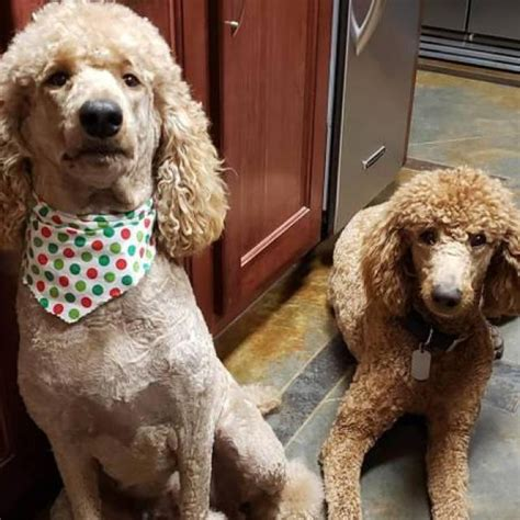 ack red standard poodle puppies  sale  alexandria