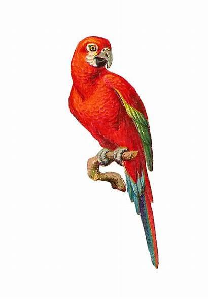 Clipart Parrot Macaw Clip Bird Transparent Graphic