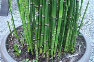 equisetum japonicum pr 234 le japonaise pr 234 le du japon toutes les plantes avec florum