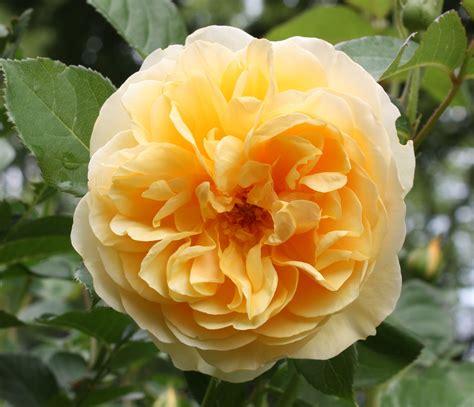 austen roses david austin roses the rose journal