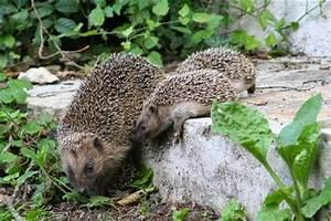 Le Hérisson Chauffagiste : le h risson ami de nos jardins or ane ~ Premium-room.com Idées de Décoration