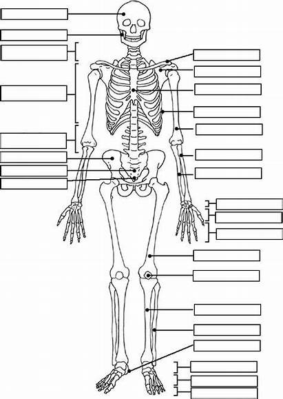 Worksheet Skeleton Human Anatomy Label Coloring Skeletal