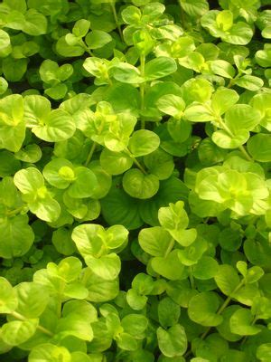 Aquascapes Unlimited by Lysimachia Nummularia Aurea Gold Creeping From