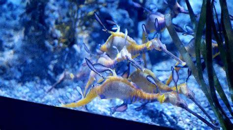 Seahorse In Aquarium Fish Tank At Sea Aquarium Singapore