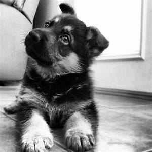 Black And White German Shepherd Dog