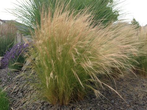 grass plant ornamental grasses update your curb appeal with just one plant the garden glove