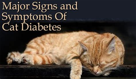 signs of diabetes in cats major signs and symptoms of cat diabetes cat health