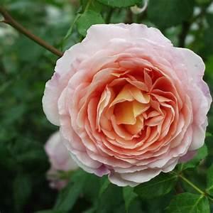 Rose Mein Schöner Garten : englische rose abraham darby informationen tipps ~ Lizthompson.info Haus und Dekorationen