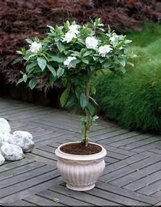 Arbuste D Intérieur : plantes d 39 int rieur parfum es une s lection s duisante ~ Premium-room.com Idées de Décoration