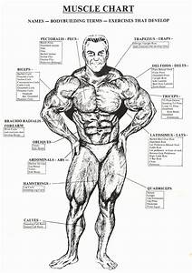 Muscle Anatomy Chart Inspirational Check The Best Bodybuilding Website Like And In 2020
