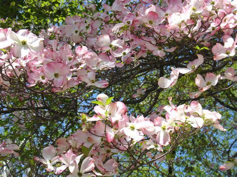 cour de cuisine cornus florida cornouiller à fleurs de floride