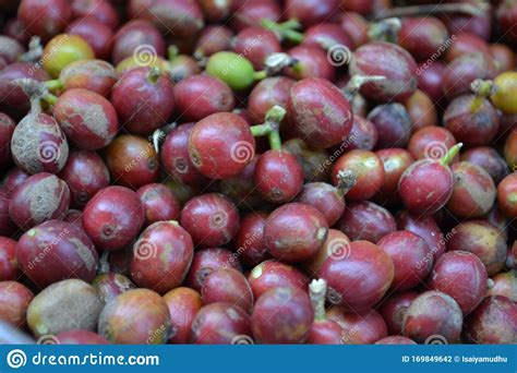 Simplyherbal pure green coffee beans have 50% gca content, by far the highest gca content in the market. Fresh Coffee Beans Ready For Harvesting In Ooty Tamilnadu ...