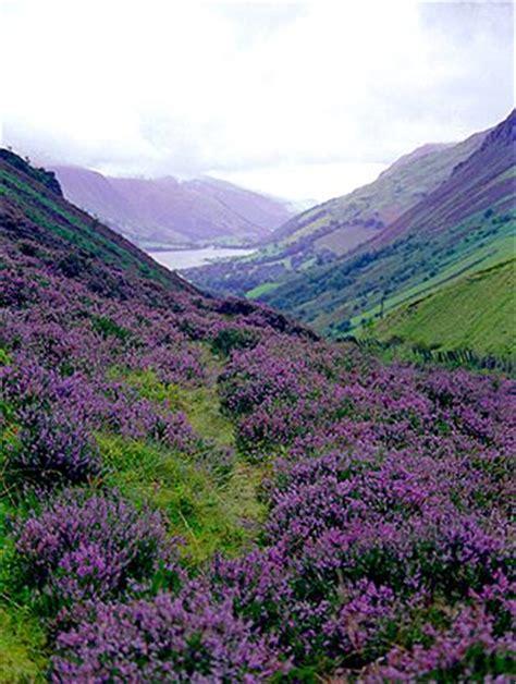Scottish Highland Heather