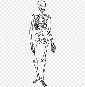 Download Human Skeleton Diagram Trace