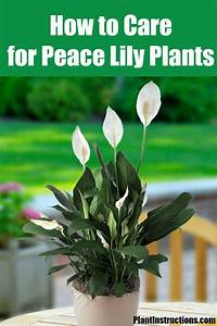 Peace Lily Plant Care  How To Care For Your Peace Lilies