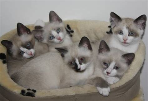 cat  snowshoe cat