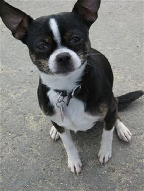 bo chi boston terrier chihuahua mix dog bochi dogs