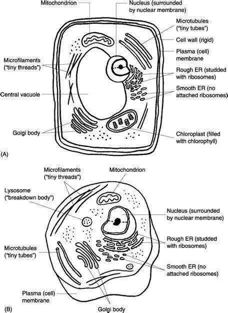 Animal Cell Coloring Key by Animal Cell Answer Key Coloring Pages