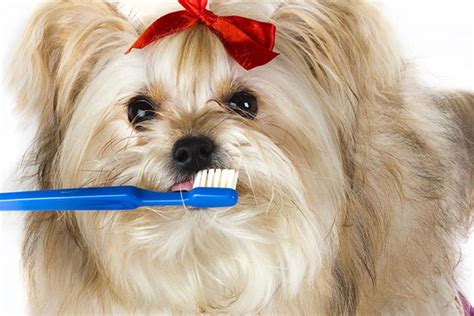 dental problems differ  large  small dogs american
