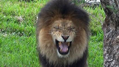 Funny Lions Widescreen Wallpapers Funnypicture Wallpapersafari
