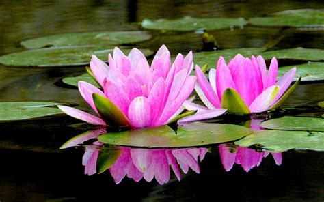 lotus flower hd and wallpapers